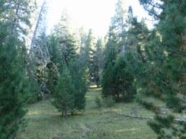 Boscos de pi roig net per l'esforç del caminar per arribar-hi
